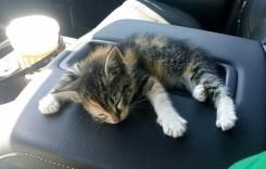 Se doarme bine pe cotieră – Pisica salvată de pe șosea sforăie ca un tractor în mașina salvatorului