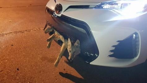 Coiotul lovit de o Toyota, pasager clandestin