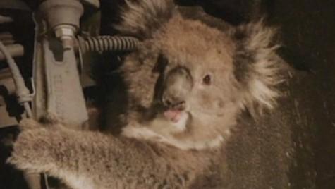 Un koala supraviețuiește unei călătorii de 16 kilometri ținându-se de suspensia unui SUV