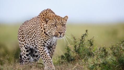 Un leopard la fabrica Suzuki – Poliția prinde, în sfârșit, felina din uzină
