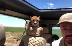 Safari cu senzații tari. S-a trezit cu ghepardul în mașină!